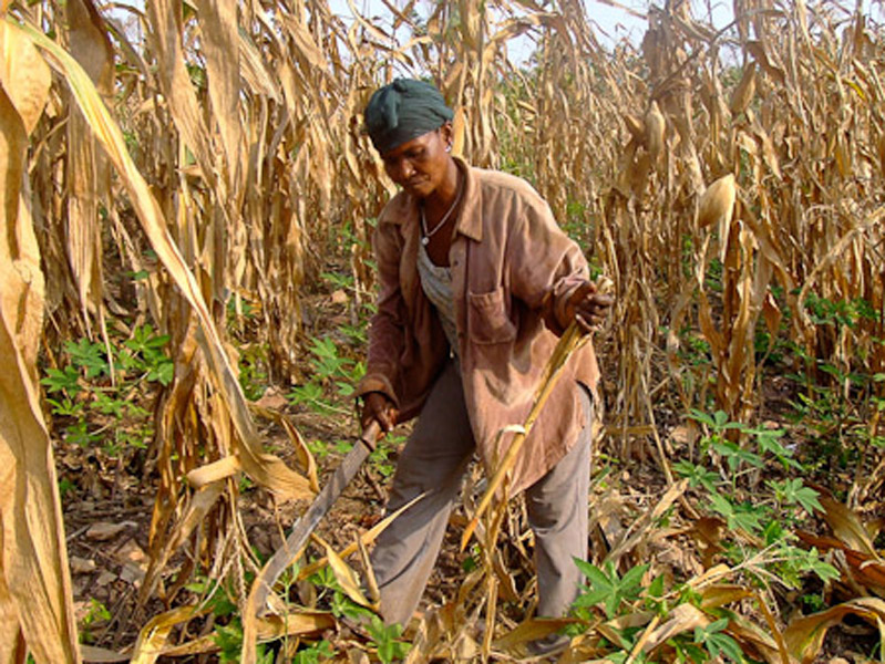 Afua Kaya cutting corn plants. (Photo: Annelies Kusters)