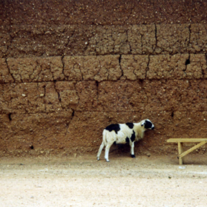 Sheep in front of a weather beaten mud wall (Dormaa District, Ghana).  (Photo: Boris Nieswand)