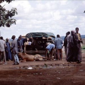 Unloading of cattle (cattle market, Korhogo, Côte d'Ivoire). (Photo: Boris Nieswand)