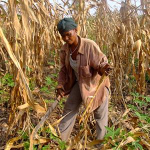 Afua Kaya cutting corn plants. (Photo: Annelies Kusters)