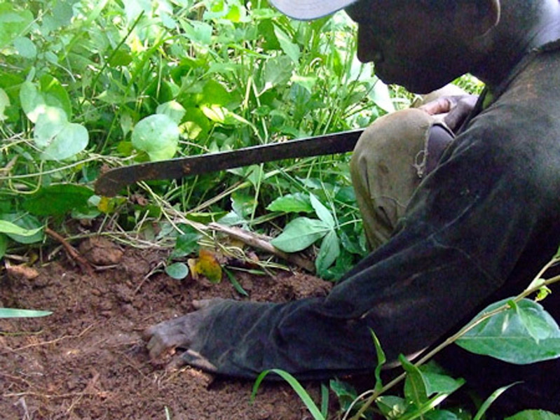 Kwasi Boahene digging for a yam. (Photo: Annelies Kusters)