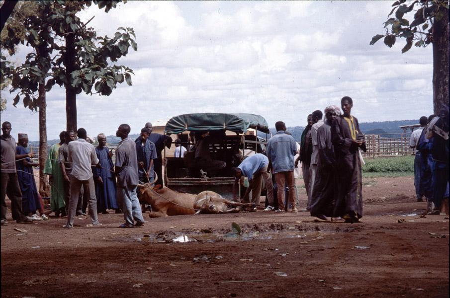 Unloading of cattle (cattle market, Korhogo, Côte d'Ivoire). (Photo: Boris Nieswand)