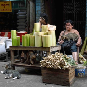 """A cat-friendly vendor selling large green banana stems used to make Mohinga (vermicelli in fish broth), Burma's unofficial """"national dish"""". (Photo: Naomi Hellmann)"""